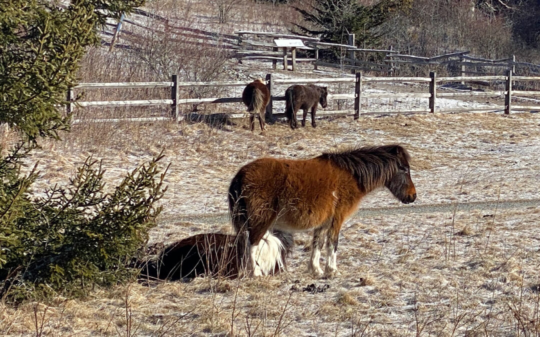 Grayson Highlands State Park wild ponies winter time